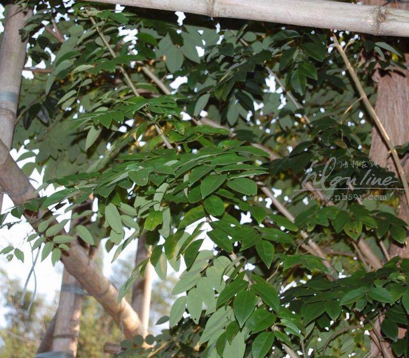 黄花梨树 树叶实拍 越南黄花梨树叶 大果紫檀(缅甸花梨木)树叶实拍
