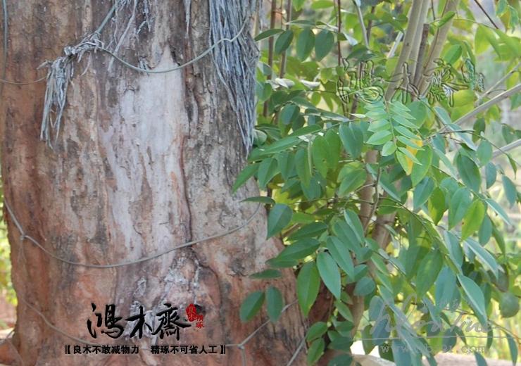 海南黄花梨活体树 (1).JPG
