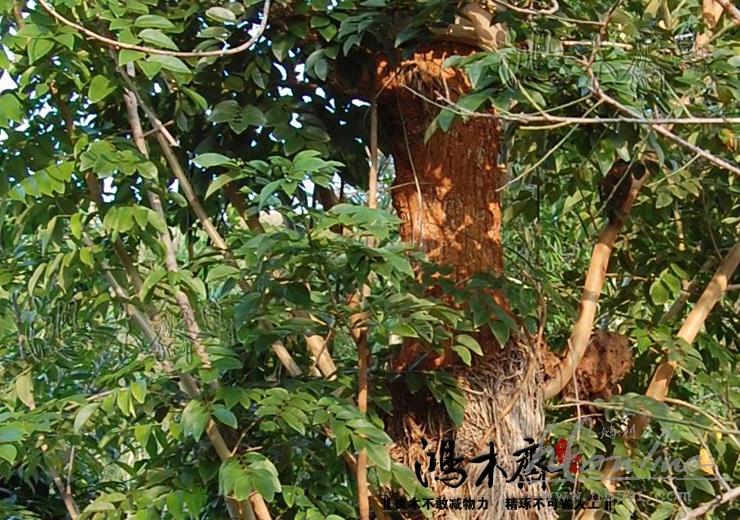 海南黄花梨活体树 (3).JPG